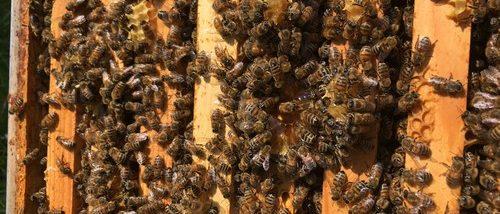 abeille api-melli