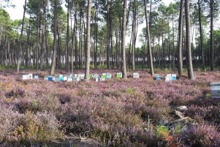 Les ruches déplacées pour garantir une grande qualité à notre miel